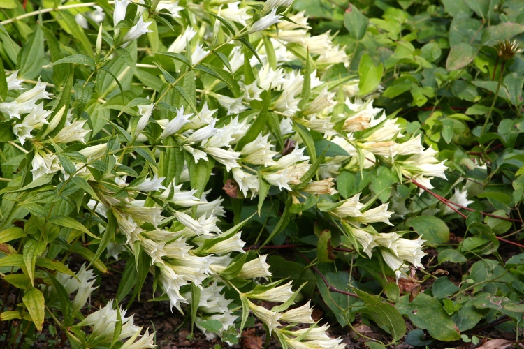 The white form of Gentiana asclepiadea is named 'Alba'