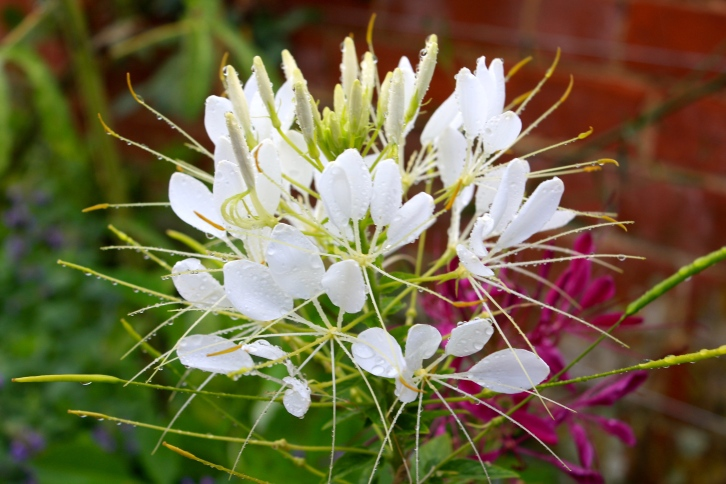 The flower of Cleome hassleriana really live up to their common name, spider flower