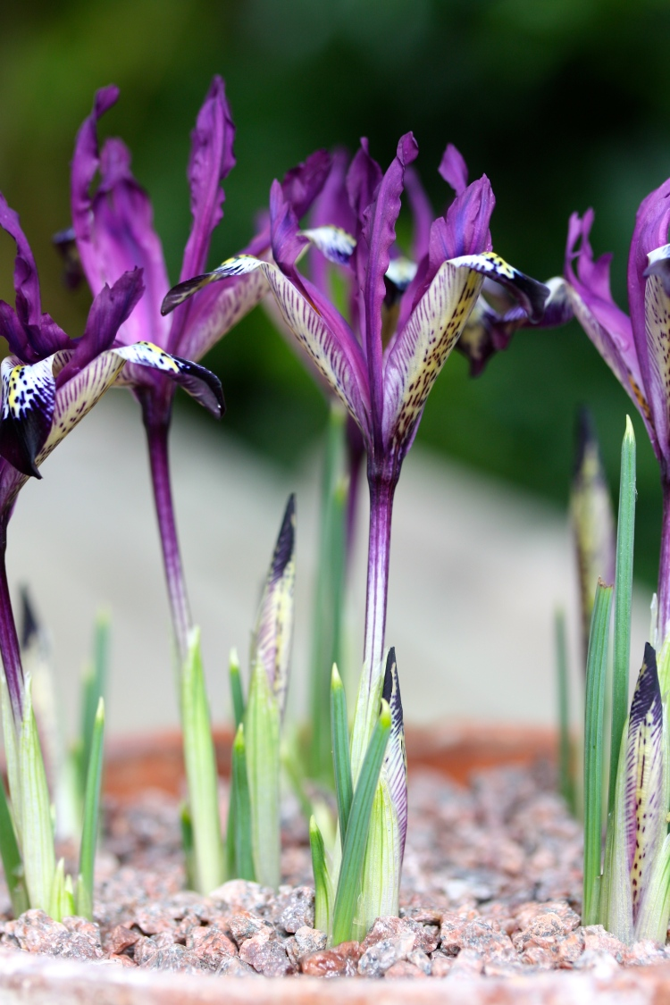 Iris reticulata 'Spot On', February 2014, The Watch House