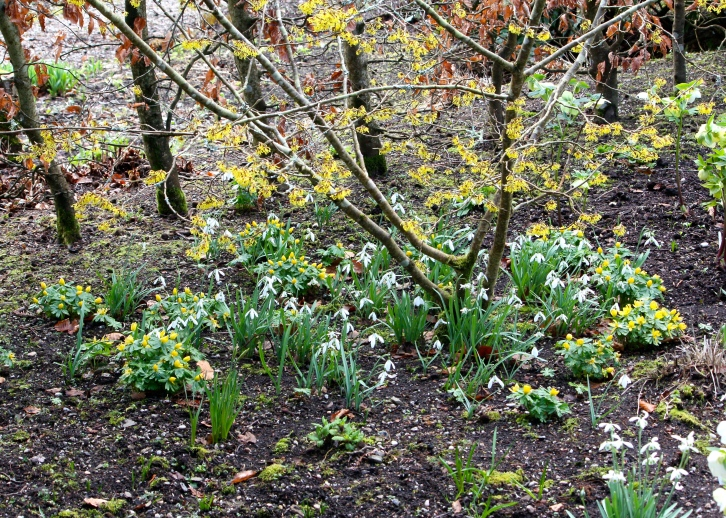 Aconites and snowdrops make perfect companions for witch hazel, enjoying the same moist growing conditions