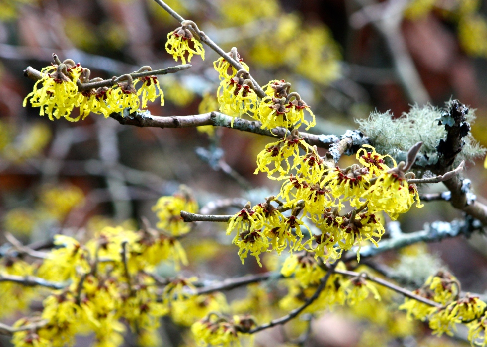 A beautiful golden-yellow witch hazel provides eye-level colour in the winter garden