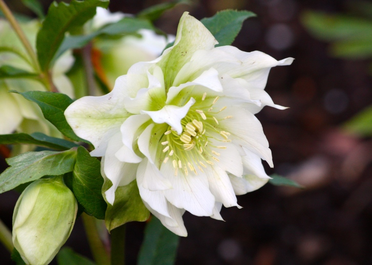 An exceptionally fine white double hellbore, ear-marked for further hybridisation