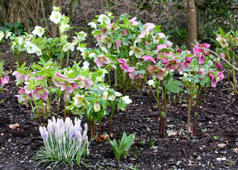 Hellebores mix well with snowdrops and crocuses.