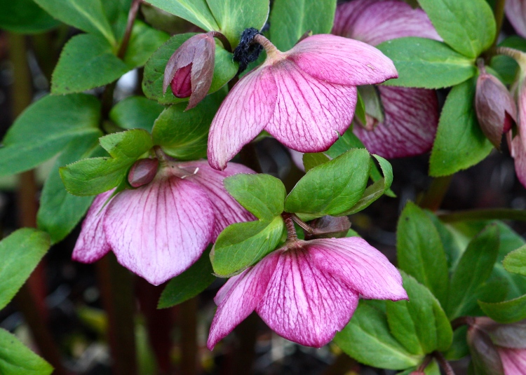 The delicately veined reverse of these hellebore flowers more than compensates for their down-turned heads