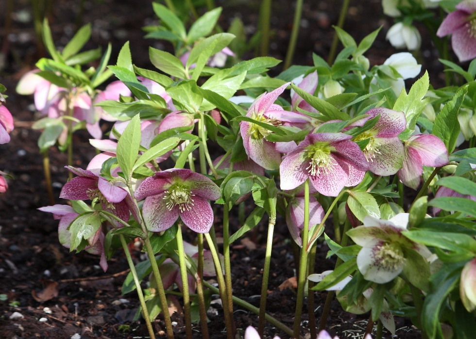 Hellebores enjoy the dappled shade of Bosvigo's woodland garden