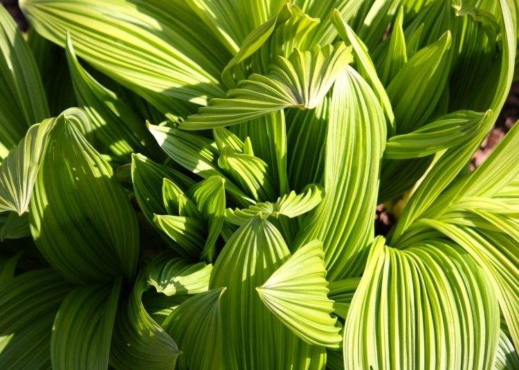 Veratrum album in the Nuttery at Sissinghurst
