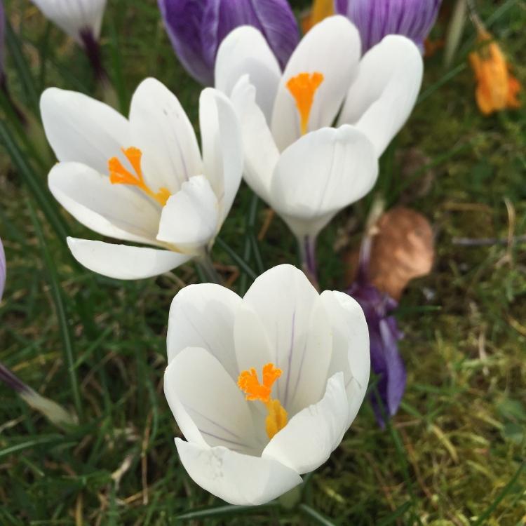 White Dutch Crocus,Stour Row, Dorset, March 2015