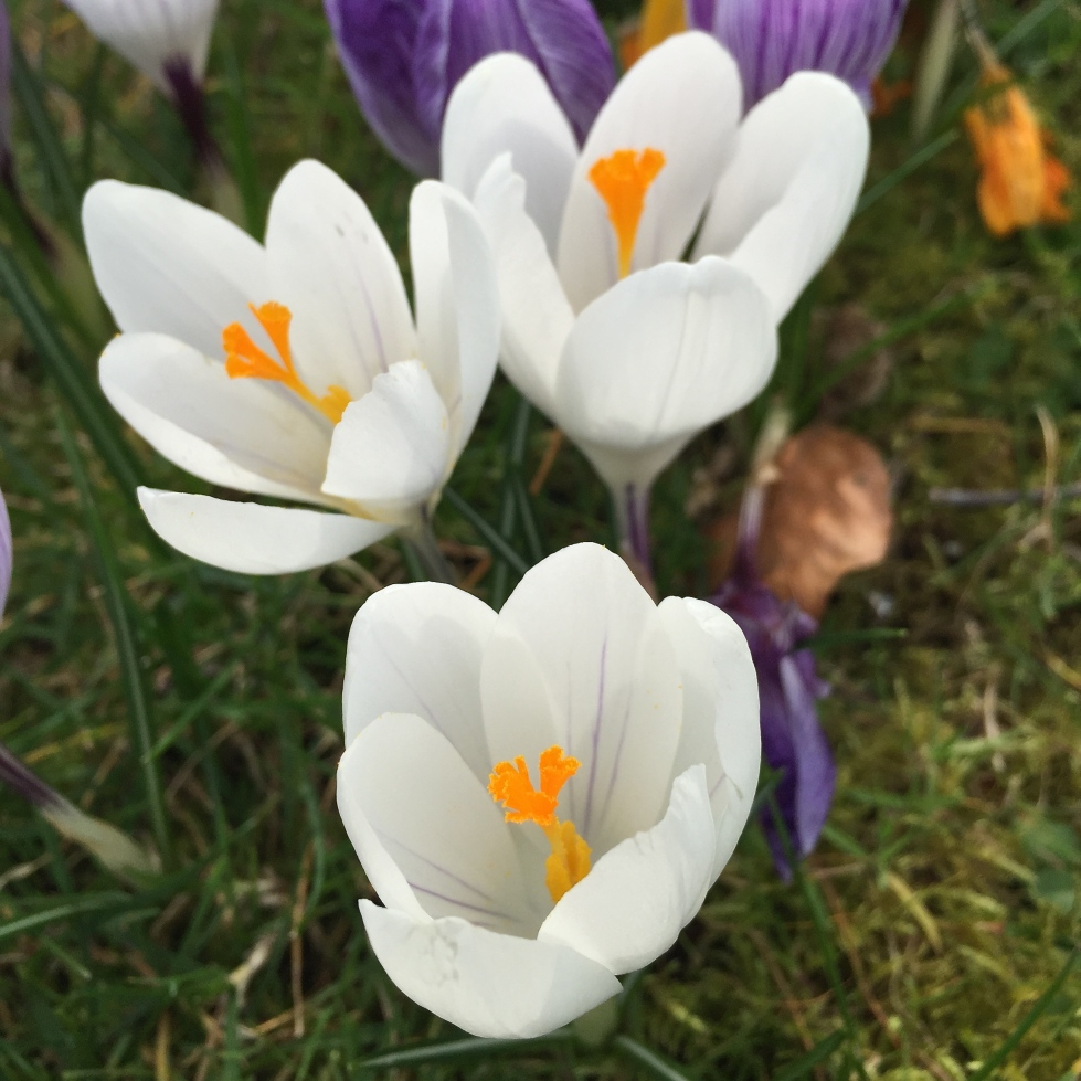 White Dutch Crocus,Stour Row, Dorset, March 2015