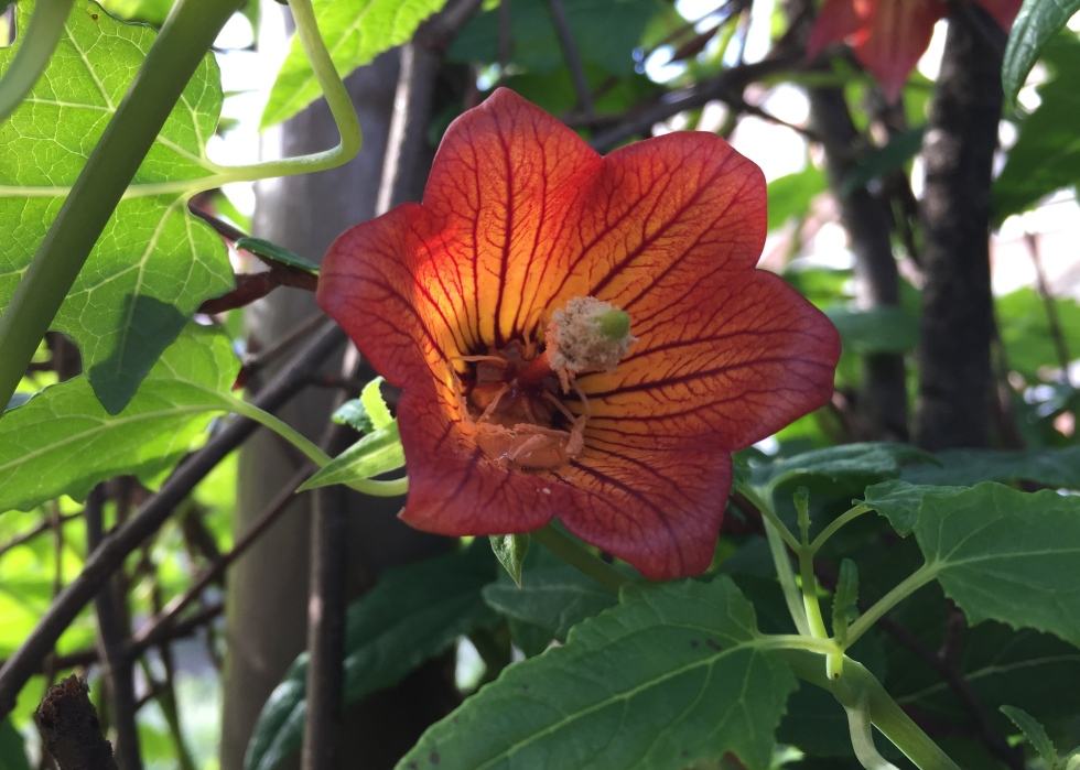 Canarina canariensis, Chelsea Physic Garden, February 2015