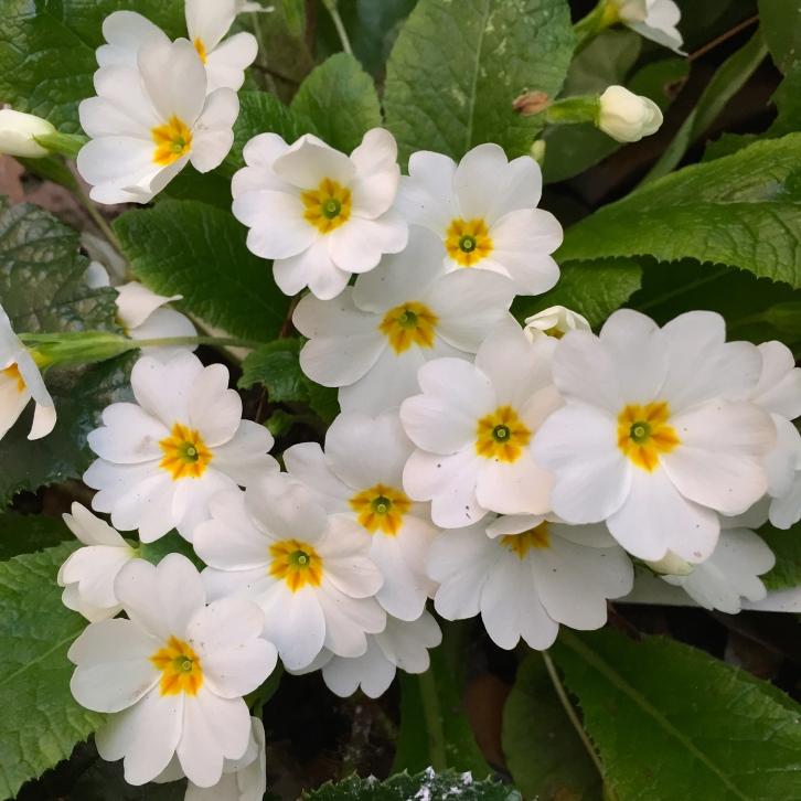 Primula vulgaris 'Taigetos', London, March 2015