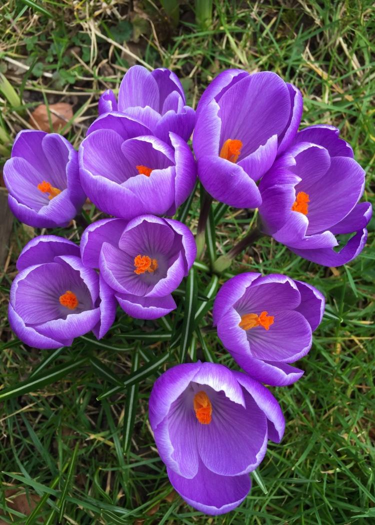 Purple Dutch Crocus, Stour Row, Dorset, March 2015