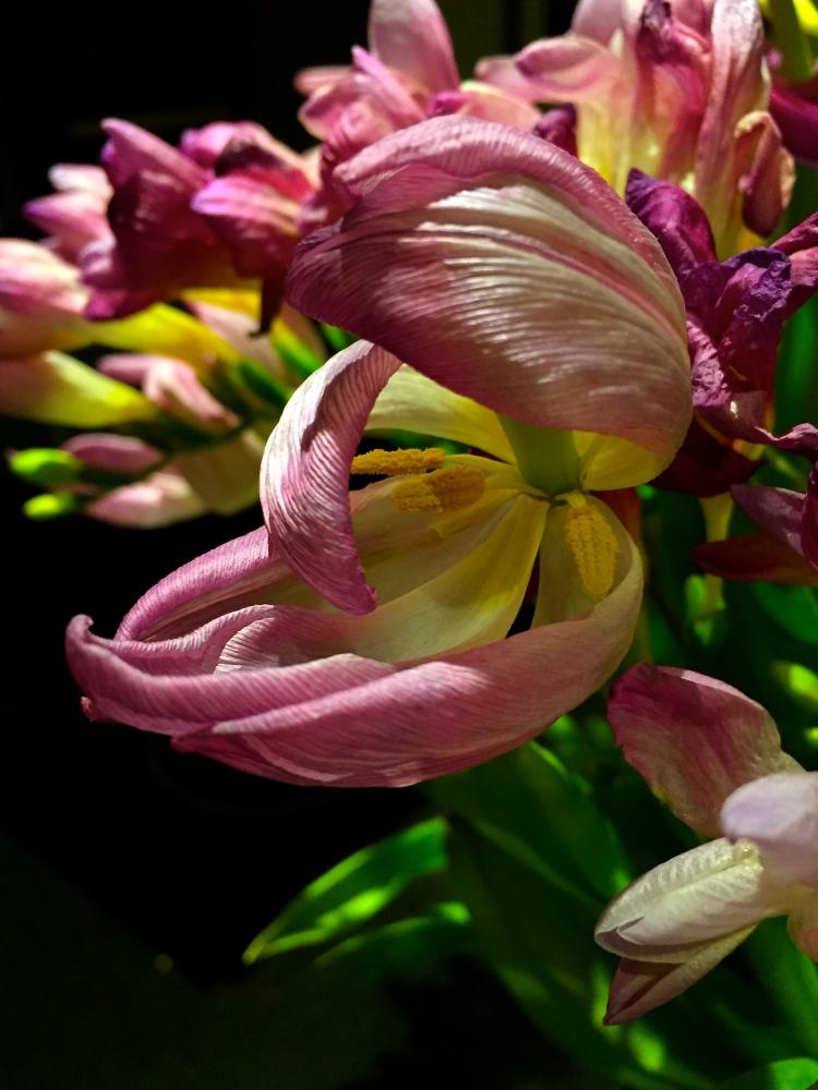 Faded tulip, March 2015