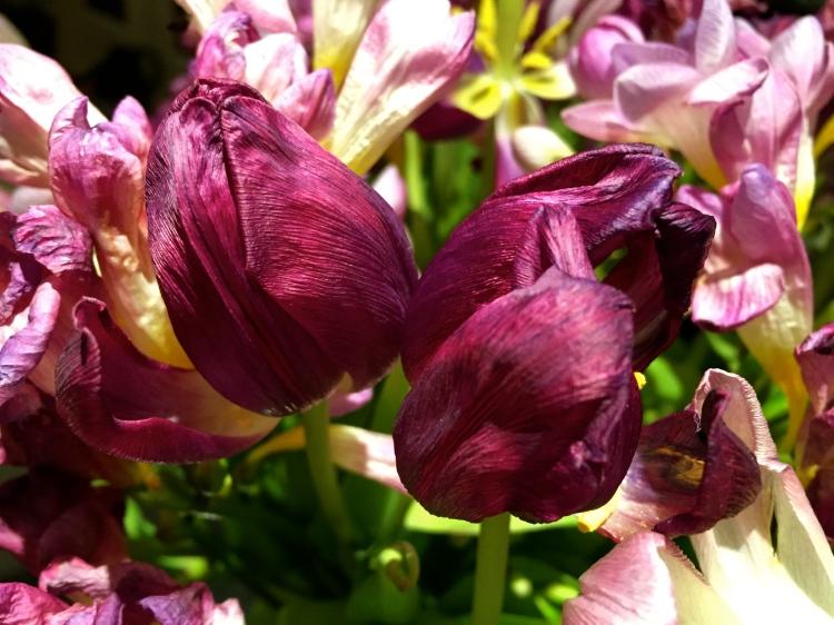 Faded purple tulip, March 2015