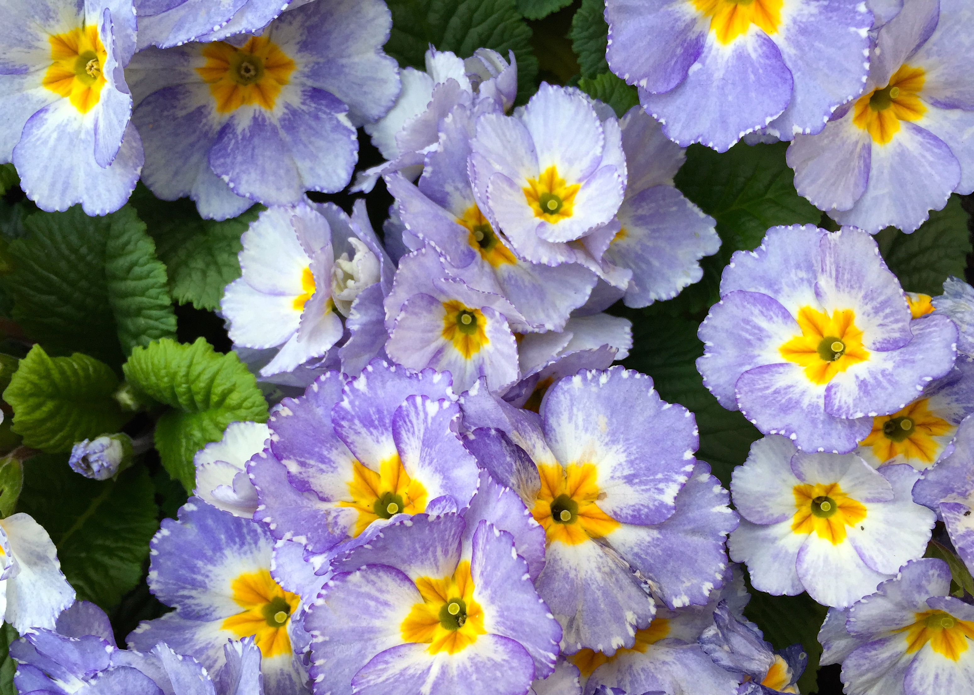 Primrose Blue – The Frustrated Gardener