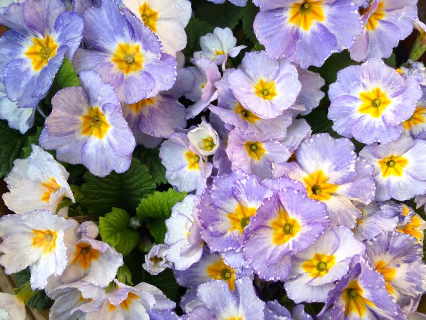 Blue primroses, London, March 2015