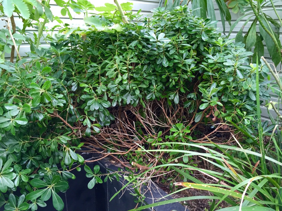 The task of hard-pruning my pittosporums begins