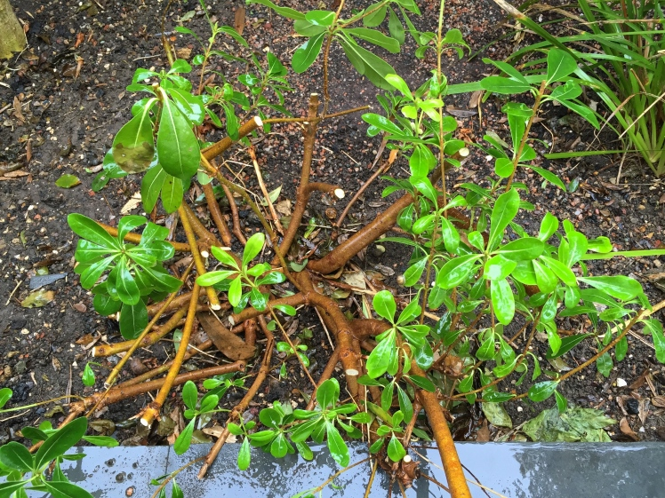 Down, but hopefully not out, Pittosporum tobira 'Nanum' after the chop