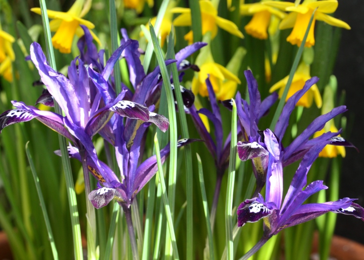 Iris reticulata 'Blue Note', The Watch House, March 2015
