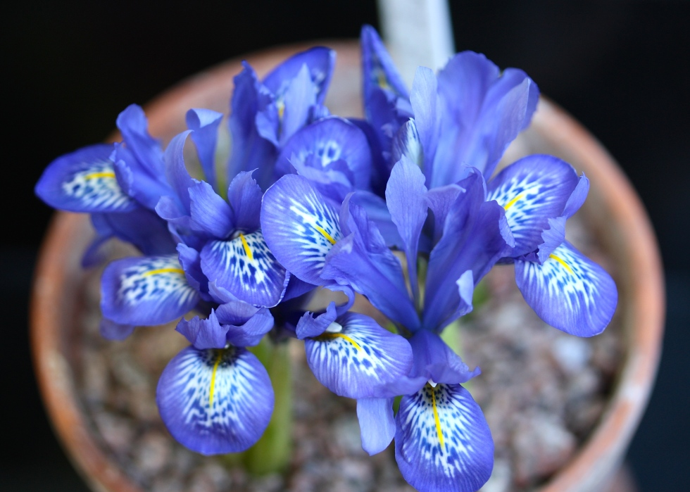 Iris histrioides 'Lady Beatrix Stanley', The Watch House, March 2015