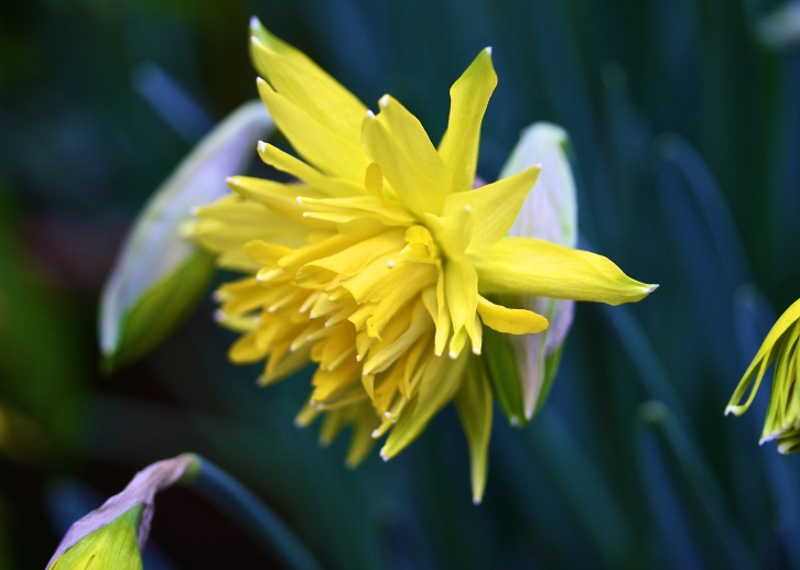 Race leader Narcissus 'Rip Van Winkle' was one of the fastest out of the blocks