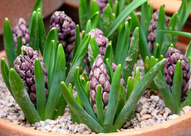 Hyacinth 'Woodstock' in bud, The Watch House, March 2015