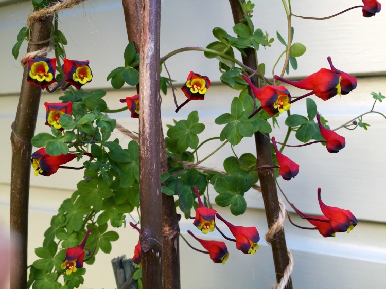 Like a shoal of tropical fish, Tropaeolum tricolor