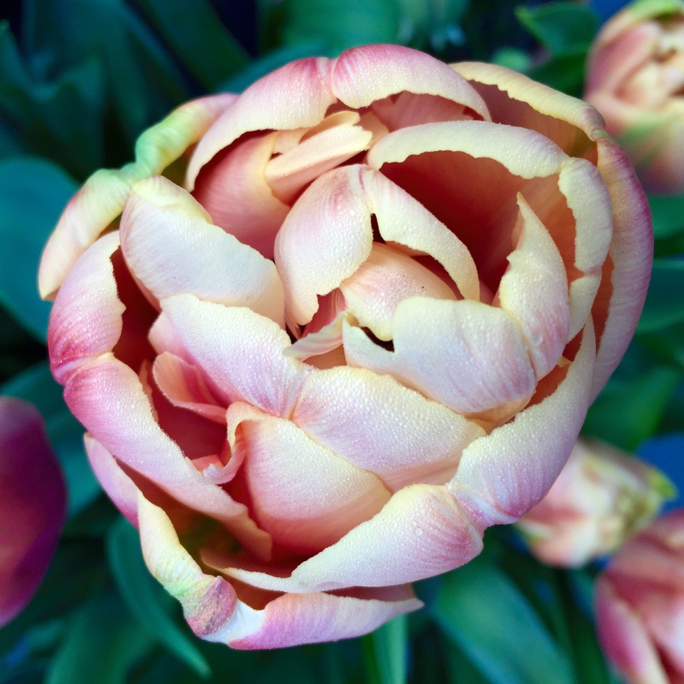 The peach melba powder puffs of Tulipa 'Belle Epoque'