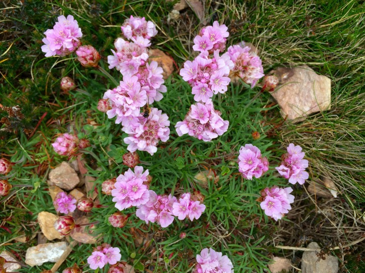 Revelling on the rocks or atop heaps of mining spoil, Armeria maritima, sea thrift