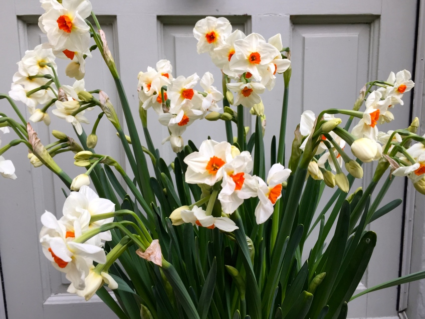 Narcissus 'Cragford', The Watch House, April 2015