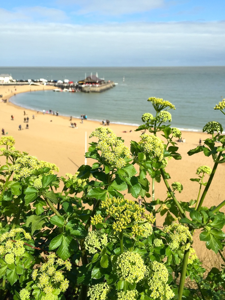 Smyrnium olusatrum, Alexanders, Broadstairs, April 2015