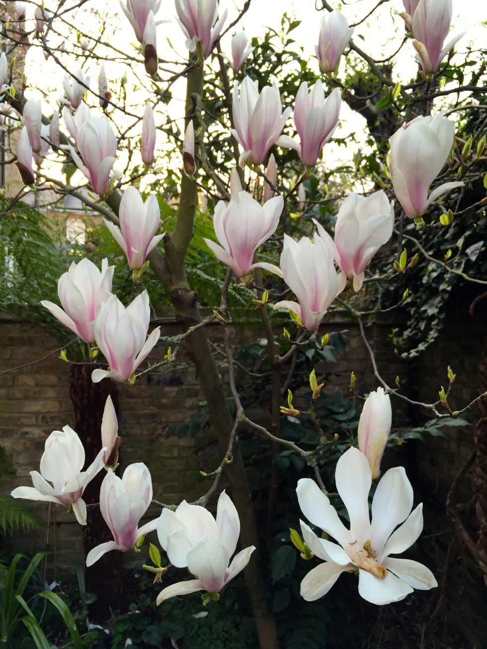 The coconut-ice chalices of Magnolia x soulangeana