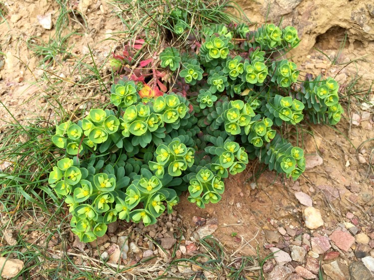 Sea spurge, Euphorbia paralias, shelters in niches within the shattered rock