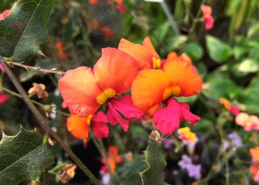 Chorizema ilicifolium, Special Plants, Bath, April 2015