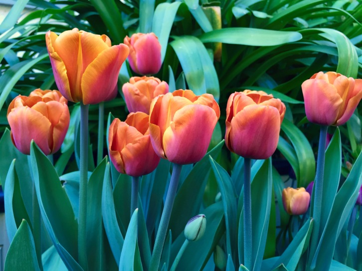 Sweet treat - Tulipa 'Brown Sugar'