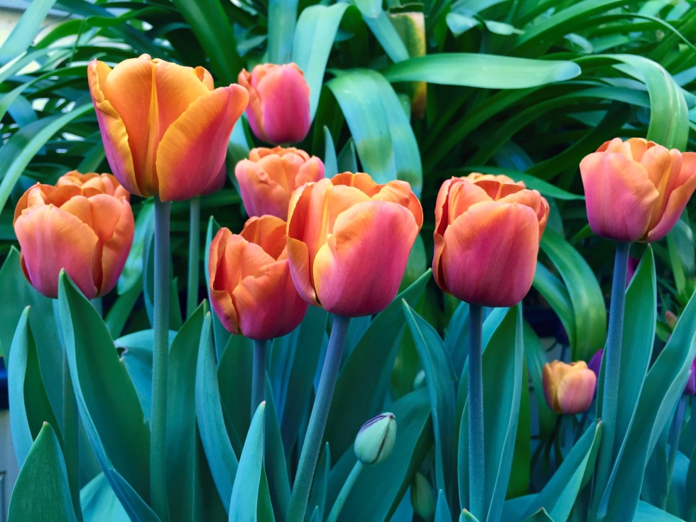 Sweet treat - Tulipa 'Brown Sugar'