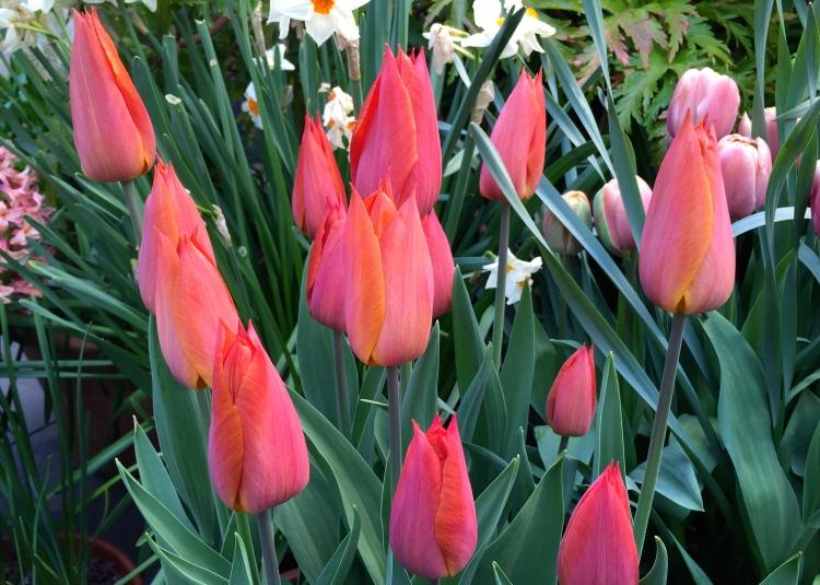 Sheer elegance: Tulipa 'Bruine Wimpel'