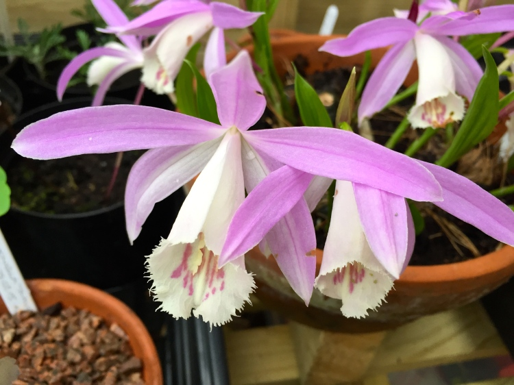 Pleione formosana, London, April 2015