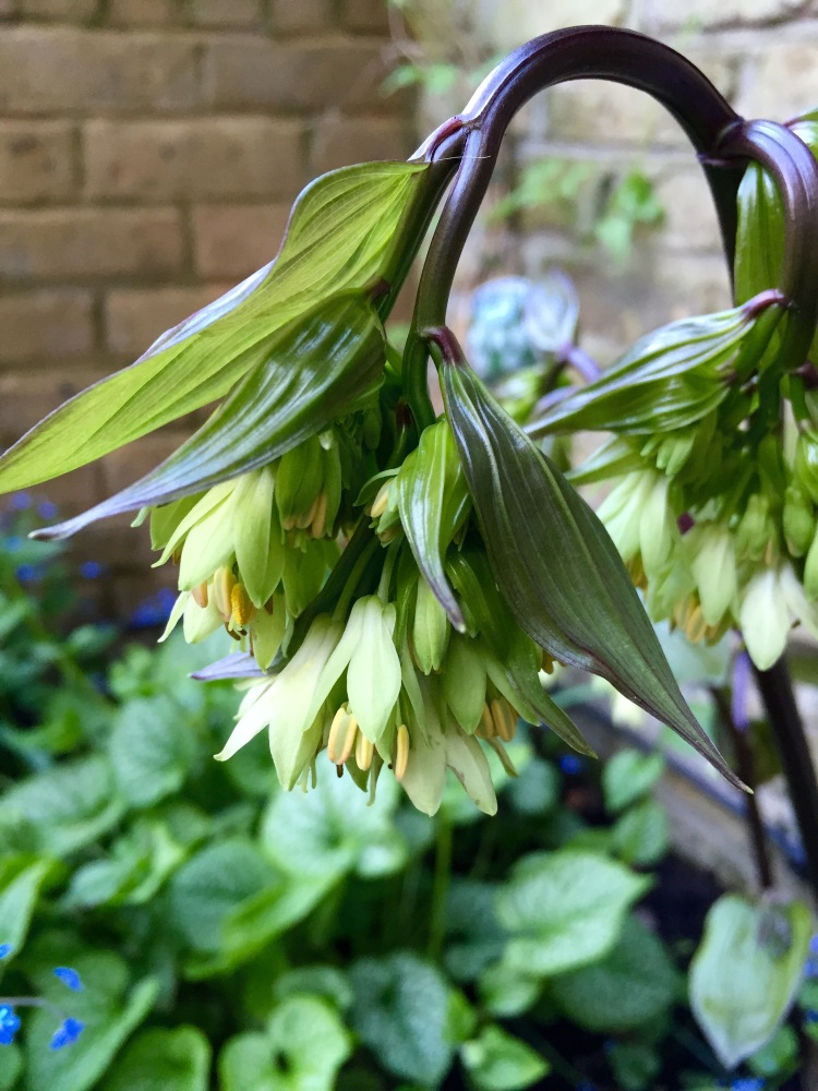 Disporum megalanthum, London, April 2015