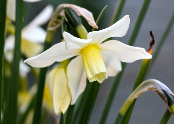 Narcissus 'Toto', The Watch House, April 2015
