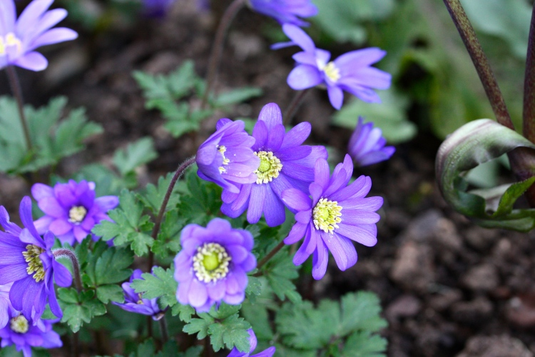 Surviving against the odds - Anemone blanda