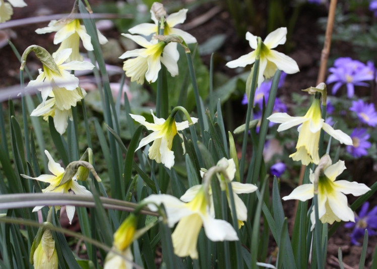 Daffodils - name unknown