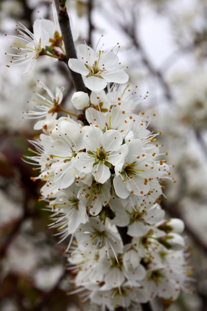 Blackthorn, Prunus spinosa, Talland Bay, Cornwall, April 2015