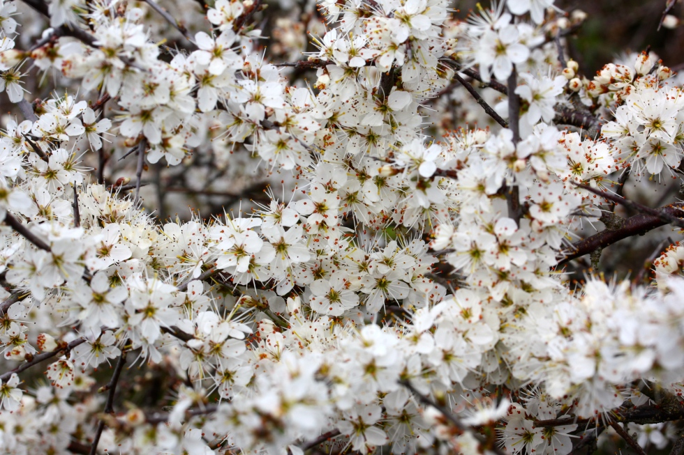 Blackthorn blossom, Talland Bay, Cornwall, April 2015