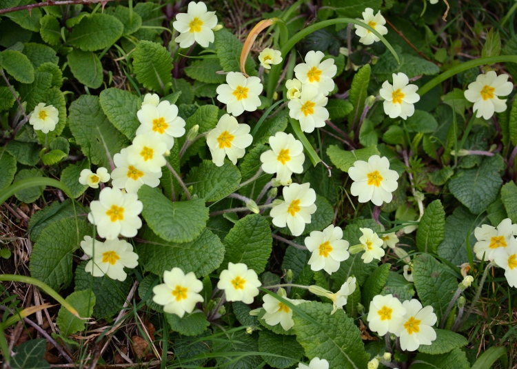 Primula vulgaris (Primrose), Talland Bay, April 2015
