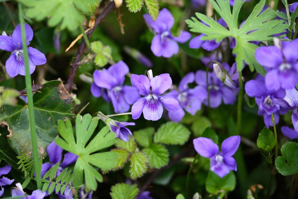 Dog violet, Viola riviniana, Talland Bay, April 2015