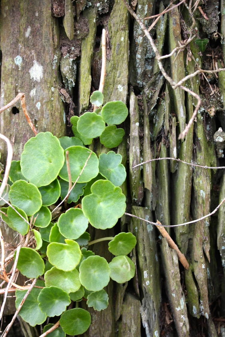 Penny wort or Navel wort (Umbilicus rupestris) is often the first plant to colonise a newly constructed Cornish hedge