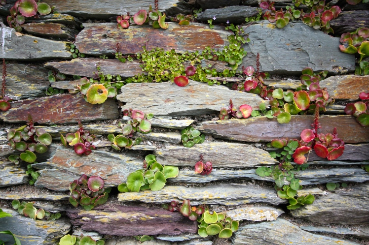A colourful slate hedge adorned with navel wort and ivy-leaved toadflax