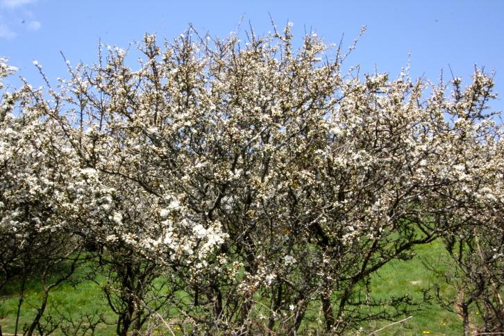 Blackthorn, Prunus spinosa, Looe, Cornwall, April 2015