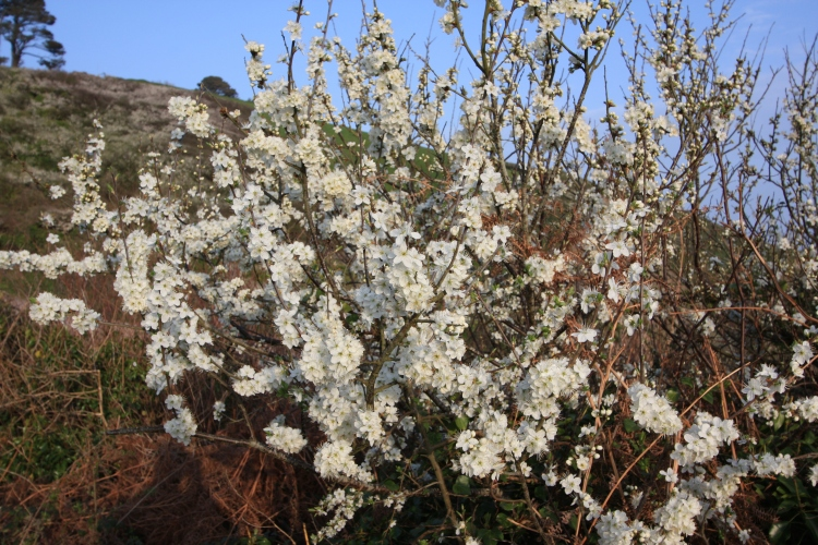 Blackthorn, Prunus spinosa, Talland Bay, Cornwall, April 2015