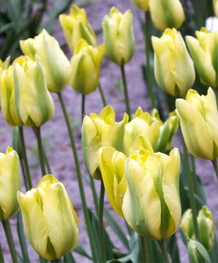 Tulipa 'Formosa', London, April 2015